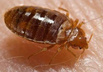 Strange Easy Steps To Get Rid Of Bed Bugs Permanently Video Included Ocoug Best Dining Table And Chair Ideas Images Ocougorg