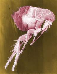 Picture of a flea 2