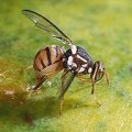 Picture of a small fruit fly
