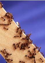 Picture of ants on a wooden surface