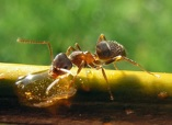 Picture of carpenter ant on branch