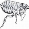 Picture of a small flea that cannot fly