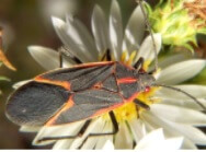 Picture of an elder bug