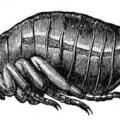 can people get fleas