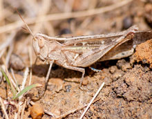 Picture of a locust