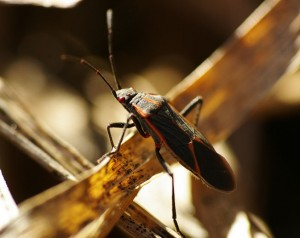 Picture of a box elder bug