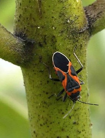 Picture of an elder bug on milkweed