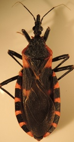 Image of a kissing bug