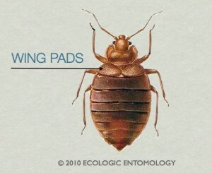 Do Bed Bugs Have Wings And Can They Fly? (Includes Video)