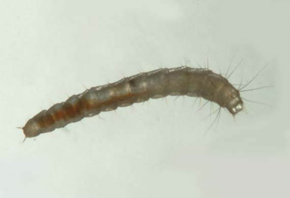 Close up picture of flea larvae