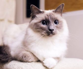 Photo of a white and brown cat that could have fleas