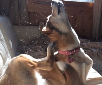 Photo of a dog scratching due to fleas