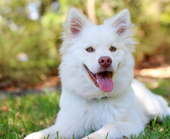 Picture of a white dog that can use tea tree oil to get rid of fleas