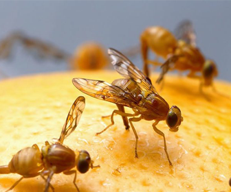 Picture of fruit flies nibbling on a fruit