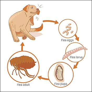 Picture of the full flea life cycle