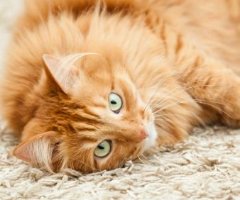 Photo of a cat lying on a flea-free carpets
