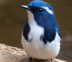 Image of a blue bird