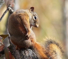 Photo of a squirrel with hoplopsyllus anomalus