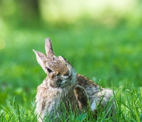 Photo of a rabbit with spilopsyllus cuniculi