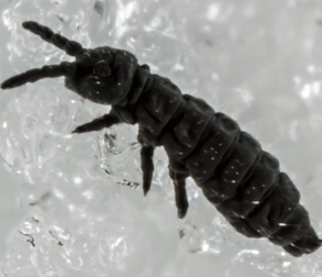 Close up image of a springtail flea