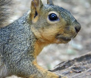 Picture of a squirrel with fleas