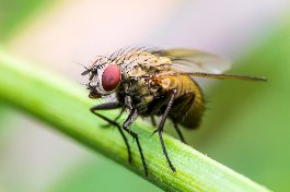Picture of a fruit fly
