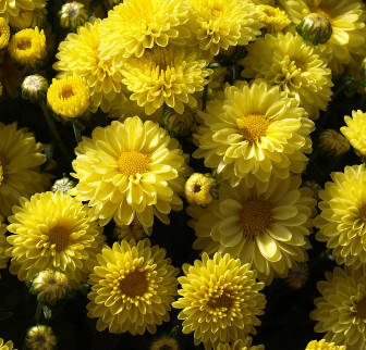 Photo of Chrysanthemums that repel fleas