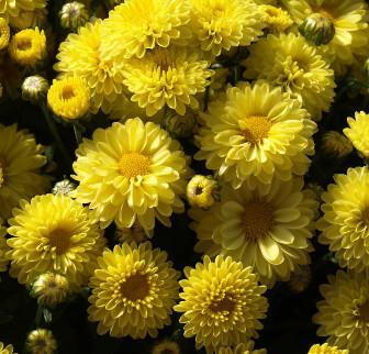 Photo of Chrysanthemums that repel fleas